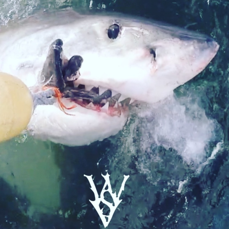 Great White Shark watches what it is biting. #WSV #SkylerThomas #shark #whiteshark