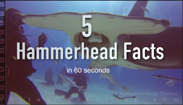 Skyler Thomas provides 5 amazing hammerhead shark facts in 60 seconds in his latest installment of Shark Minutes. All footage shot and owned by Skyler Thomas