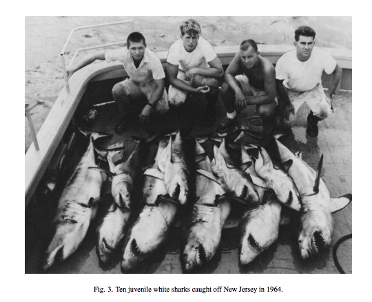 Baby white sharks have been caught in New England throughout history, not just now because you heard about it on TV from opportunistic scientists. #Gregskomal #CraigOConnel #JoeRomeiro